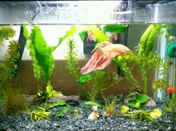 Easy care plant guide betta splendid for Floating plants for betta fish